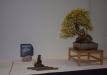 duseldorfo-muziejaus-prizas-bonsaieuropa2015-prizininkas-2037