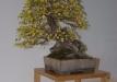 duseldorfo-muziejaus-prizas-bonsaieuropa2015-prizininkas-3037