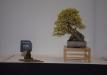 duseldorfo-muziejaus-prizas-bonsaieuropa2015-prizininkas-5037