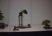 geriausias-shohin-bonsaieuropa2015-prizininkas-1-042