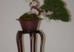 geriausias-shohin-bonsaieuropa2015-prizininkas-7-042