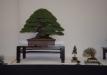 geriausias-viszalis-medis-bonsaieuropa2015-prizininkas-1-041