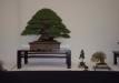 geriausias-viszalis-medis-bonsaieuropa2015-prizininkas-2-041