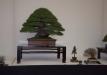 geriausias-viszalis-medis-bonsaieuropa2015-prizininkas-3-041
