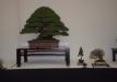 geriausias-viszalis-medis-bonsaieuropa2015-prizininkas-4-041