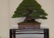 geriausias-viszalis-medis-bonsaieuropa2015-prizininkas-5-041