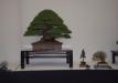 geriausias-viszalis-medis-bonsaieuropa2015-prizininkas-6-041