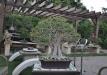 5-ficus-in-amis-garden