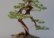02-juniperus-1-after