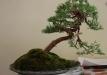 07-juniperus-3-after