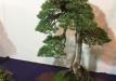 kokufu-bonsai-ten-91-001