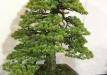 kokufu-bonsai-ten-91-002