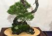 kokufu-bonsai-ten-91-005