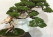 kokufu-bonsai-ten-91-020