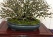 kokufu-bonsai-ten-91-021