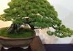 kokufu-bonsai-ten-91-022