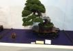 kokufu-bonsai-ten-91-025
