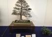 kokufu-bonsai-ten-91-032