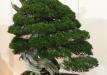 kokufu-bonsai-ten-91-033