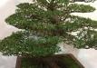 kokufu-bonsai-ten-91-034