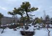 bonsai-005_0