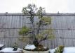 bonsai-009_0