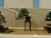 Pinus densiflora, meistras Chrissie Leigh-Walker, Jungtinė karalystė