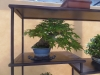 Acer palmatum, meistras Bob van Ruitenbeek, Nyderlandai