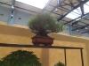 Pinus thunbergii, meistras Bob van Ruitenbeek, Nyderlandai