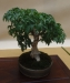 Shohin ekspozicija (Acer palmatum 'Shinshigashira'), meistras Milos Trpak