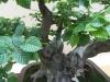 Caprinus betulus, meistras Julius Kolesar, Slovakija