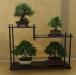 Pinus thunbergii, Larix, Chamaecyparis, Malus, Caprinus, meistras Leen Dekker, Nyderlandai