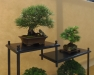 Pinus thunbergii, Larix, meistras Leen Dekker, Nyderlandai