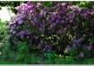 rododendrai-sereikiskese-2017-10