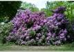 rododendrai-sereikiskese-2017-14