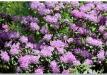 rododendrai-sereikiskese-2017-19