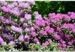 rododendrai-sereikiskese-2017-20