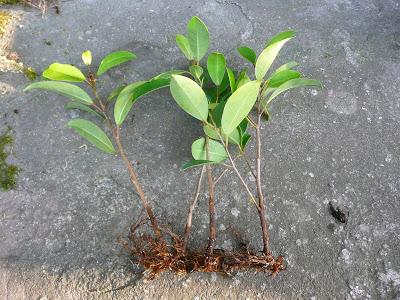 1-isisaknije fikusu auginiai