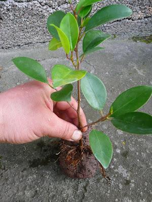 4-pritaikom augini