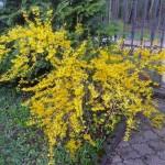 Pavasarinis krūminės forsitijos žydėjimas