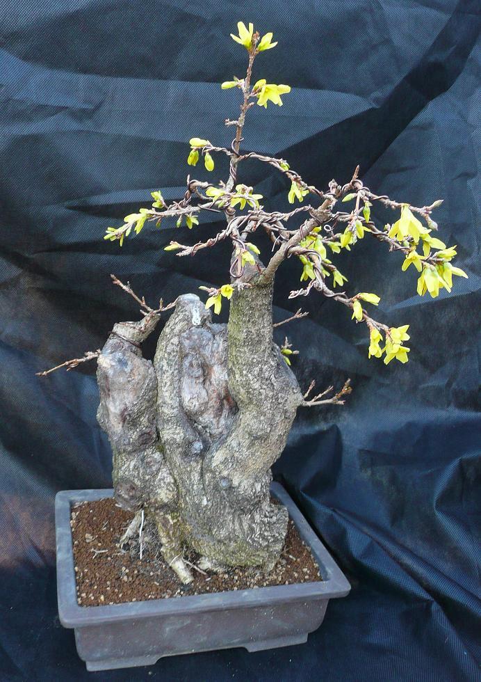 Pirmasis bonso žydėjimas balandžio viduryje
