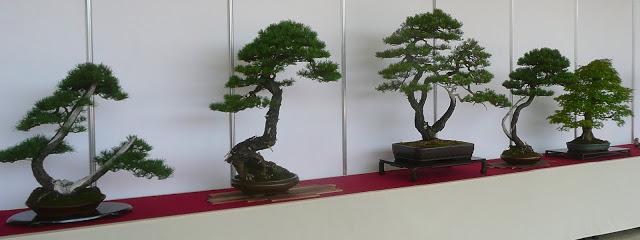 VI bonsai ir suiseki parodos Vilniuje bonsų ekspozicijos fragmentas