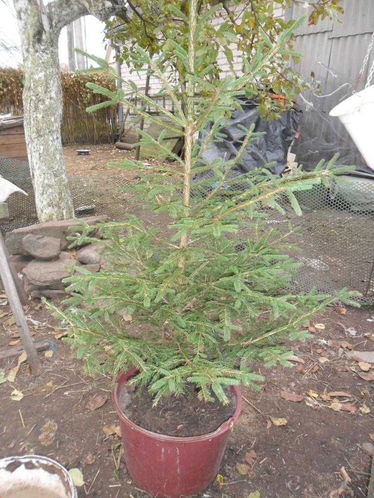 Kalėdų eglutė  2011 metų rudenį