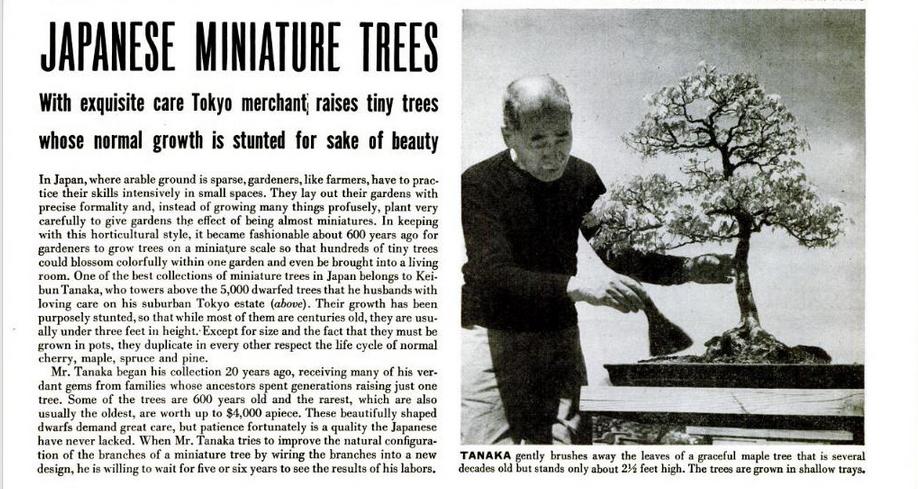 Tai aprašomo straipsnio ištrauka. Iliustracijoje meistras Tanaka švelniai nuvalo lapus nuo grakštaus klevo gyvanančio jau keletą dešimtmečių. Klevo aukštis – 2,5 pėdos (76 cm.) Medis auginamas sekliame vazone.