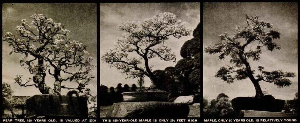 Nuotraukose trys medžiai: (1) 150 metų sulaukusi kriaušė įvertinta 200 dolerių. (1946 m., šiandien būtų – 2 560 dolerių); (2). 150 metų sulaukęs klevas tik 76 cm. Aukščio, (3) Klevas, sulaukęs 50 metų senumo