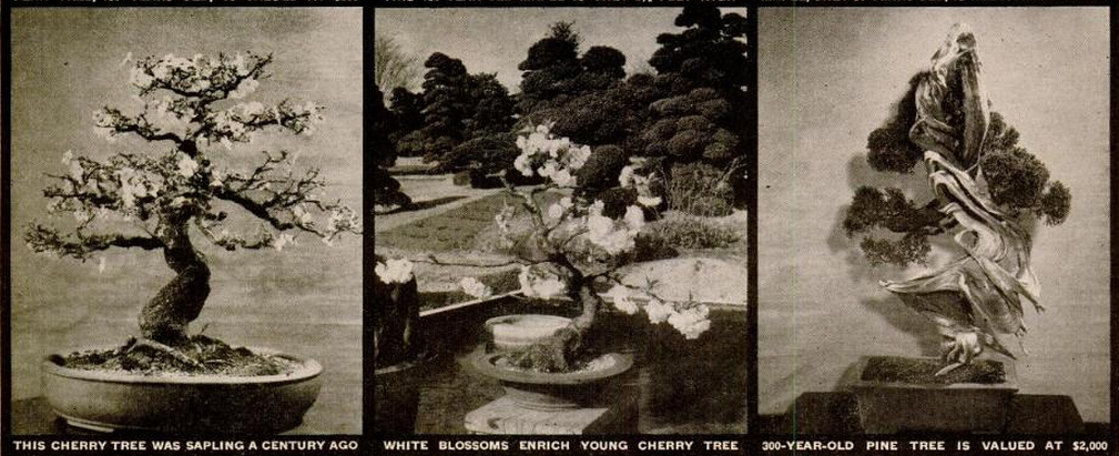 Nuotraukose trys medžiai: (1) Vyšnia kuri prieš šimtmetį buvo tik sodinukas, (2) Baltai žydintis jaunas medelis, (3) 300 metų pušis įvertinta 2000 dolerių (1946 m.) šiandien būtų 25 000 dolerių.