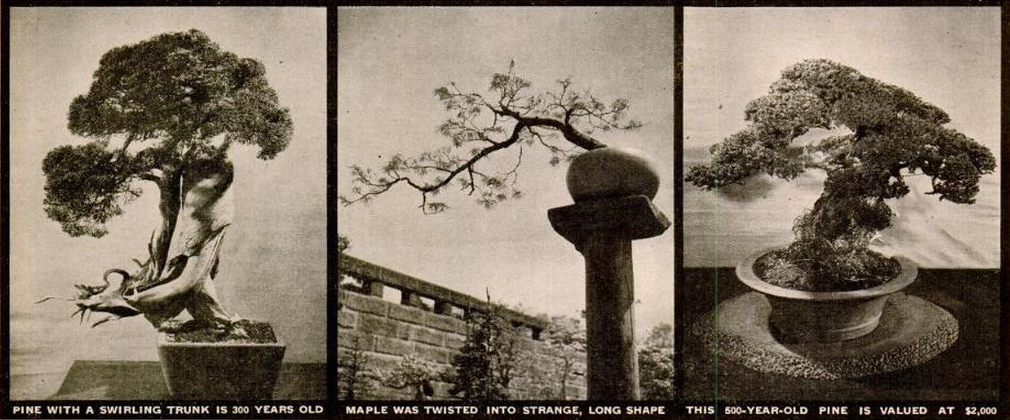 Nuotraukose trys medžiai: (1) 300 metų pušis su susuktu kamienu, (2) Klevas susuktas į keistą, ilgą formą, (3) Ši 500 metų pušis įvertinta 2000 dolerių (1946 m.) šiandien būtų 25 000 dolerių