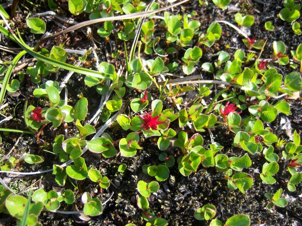 Žolinis karklas – moteriškas augalas su raudonais žiedynais