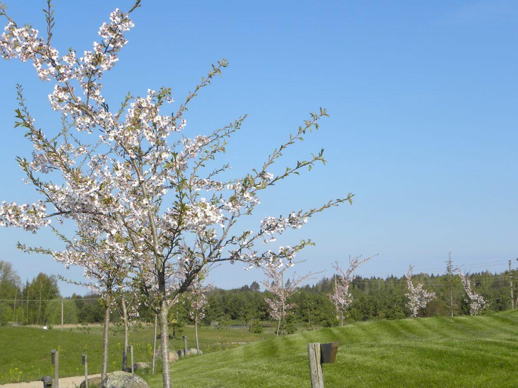 Japoniskas sodas - sakura