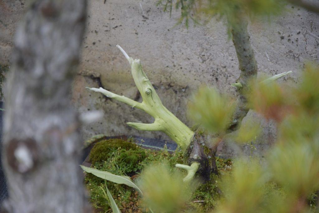 Žalsvas dumblių apnašas ant kalifornijos skysčiu impregnuotos kadagio medienos